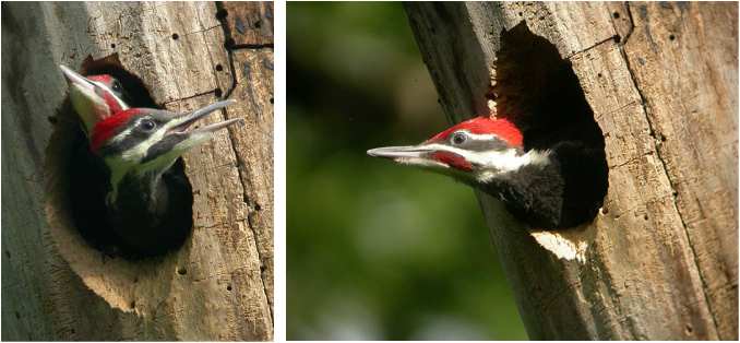 Pileated Woodpecker young