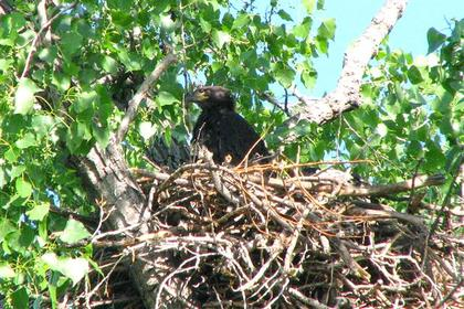 Young Bald Eagle in Nest North of East Grand Forks, Spring 2009