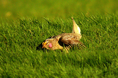 Sharp-tailed Grouse displaying