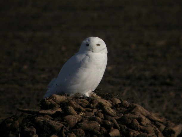 Snowy Owl, Adult Male